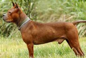 Chuandong dog